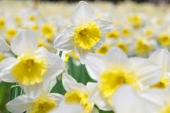 White narcissuses - stock photo