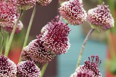 Allium mohican Stock Photos