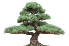 Bonsai pine tree - stock photo