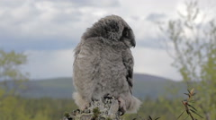 Hawk owl in a mountain forest Stock Footage