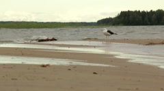 Black-backed gull standing alone at a windy sand bank of a lake Stock Footage