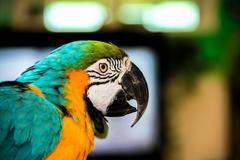 Parrot macaws ( Ara ararauna) Stock Photos