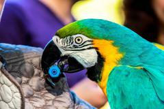 Playing with parrot macaws ( Ara ararauna) Stock Photos