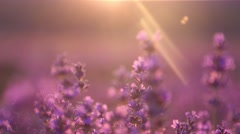 Lavender Sunset - stock footage