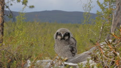 Cute fluffy owlet Stock Footage