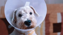 dog  with vet plastic collar - stock footage