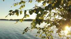 Steadycam footage of birch leaves on a sunny summer evening Stock Footage