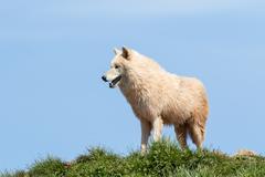 Arctic wolf  (Canis lupus arctos) Stock Photos