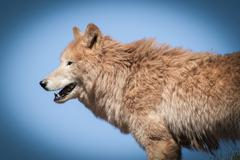 Arctic wolf  (Canis lupus arctos) - stock photo