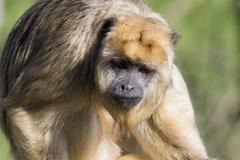 Brown capuchin monkey (Cebus apella) - stock photo