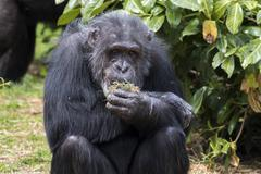 Chimpanzee Kuvituskuvat