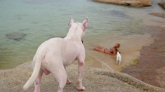 Miniature Bull Terrier Dog on the Beach on Summer Holidays Stock Footage