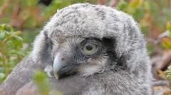 Cute fluffy owlet Stock Footage