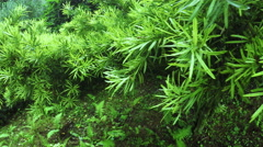 Podocarpus macrophyllus in botanic garden Stock Footage