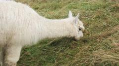 Cute alpaca portrait Stock Footage