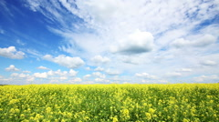 beautiful flowering rapeseed field - stock footage
