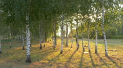 Birch grove at sunset Stock Footage