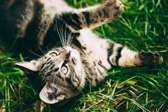 Playful Cute Tabby Gray Cat Kitten Pussycat Play In Grass Outdoo - stock photo