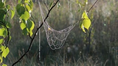 Spiderweb with dew drops hanging on a birch branch swaying in wind on early - stock footage
