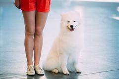 White Samoyed Dog Puppy Whelp Sitting On Floor - stock photo