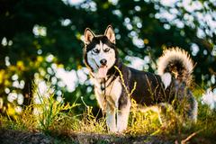 Young Happy Husky Eskimo Dog Standing In Green Grass Outdoor. Su Stock Photos