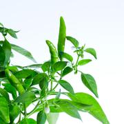 green chilli pepper plant on white background - stock photo