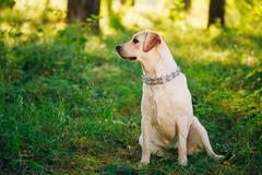 Female Funny White Labrador Retriever Dog Sitting In Green Grass Stock Photos