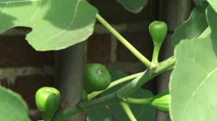 Leaves and immature fruit of common fig - close up Stock Footage