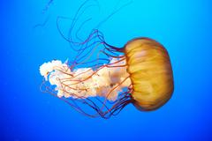 Orange jellyfish (Chrysaora fuscescens) - stock photo
