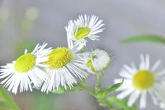 pharmaceutical close-up camomile - stock photo