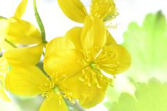flowering celandine - stock photo