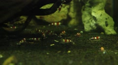 many small Crystal Red Shrimp live in an aquarium with clear water - stock footage