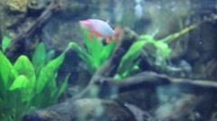 beautiful fish floats in the aquarium clean - stock footage