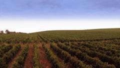 Beautiful vineyard landscape, aerial view Stock Footage