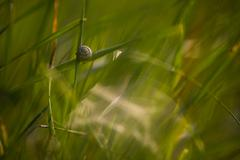 Stock Photo of Snail on a stalk of grass.