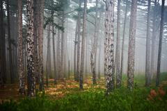 Stock Photo of Misty forest