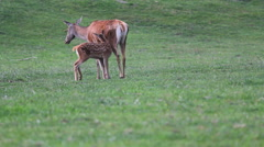 Stock Video Footage of Baby deer running to mother deer in nature, need attention, affection