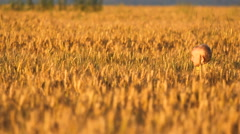 Lovely blond hair child walking in golden ripe cereals, boy looking to camera Stock Footage
