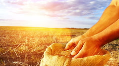 Strong man's hands takes a lot of wheat grains - stock footage