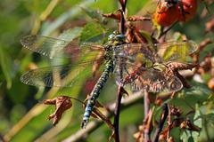 Dragonfly resting with its wings spread. - stock photo