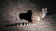 Common Genet sitting on the ground and moving its ears Stock Footage