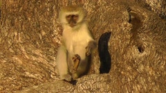 Male vervet monkey scratches its back, lifts it leg up and grooms itself Stock Footage