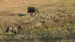Young warthog runs through water Stock Footage