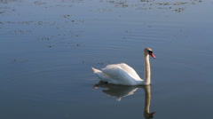 Swan on the blue water Stock Footage