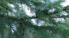 Panning shot of a spruce twigs with water drops Stock Footage