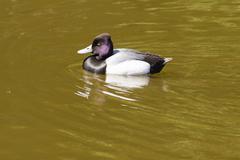 Tufted Duck - Aythya fuligula Stock Photos