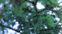 Panning close-up shot of a spruce twigs Stock Footage