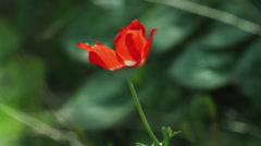 Video of a lone red flower in the breeze shot in Israel. Stock Footage