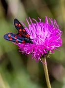 a moth six-spot burnet (Zygaena filipendulae) on a purple flower - stock photo