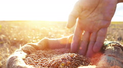 Man's hand in a wheat grains - stock footage